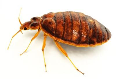 Carpet Cleaning To Remove Dust Mites, Fleas, and Bed Bugs- Castle Rock Co